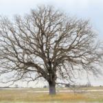 Bur Oak near I-94